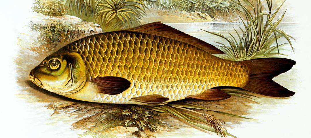 Focus sur la carpe commune aquaponie france for Poisson carpe