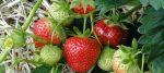 Agnès Joly fait pousser des fraises bio en aquaponie au coeur de Paris