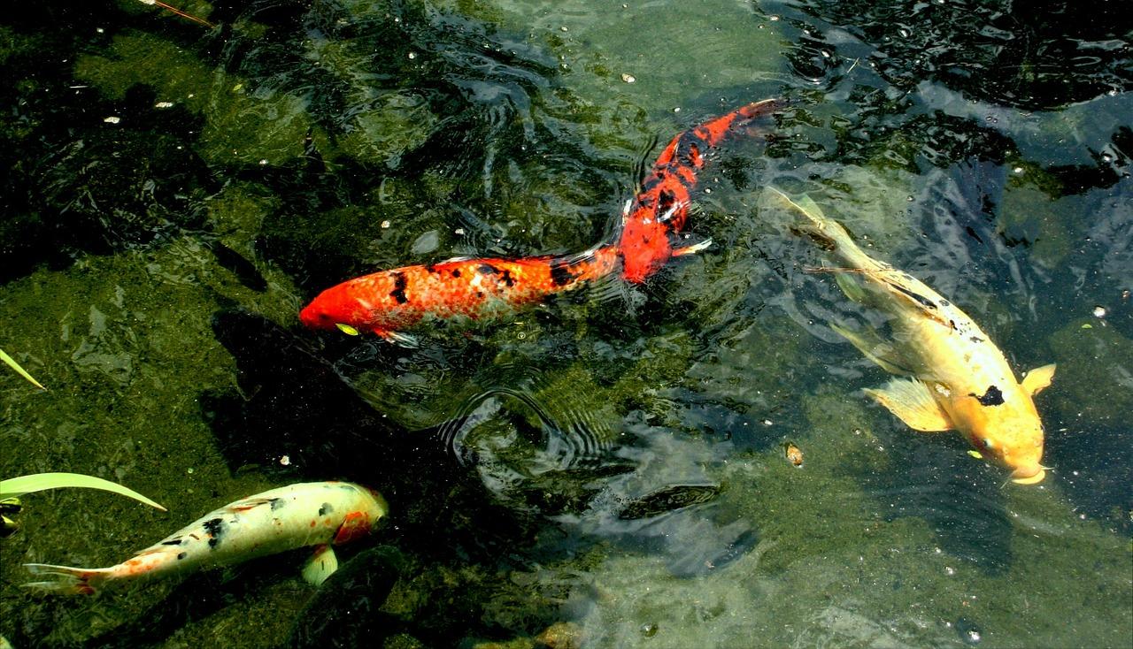 bassin poisson comestible