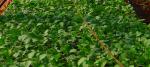 Guide pour réussir ses semis en aquaponie