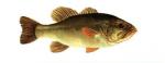 Elever le Black-Bass (micropterus salmoides) en aquaponie