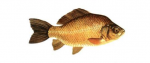 Élever le Carassin (carassius carassius) en aquaponie