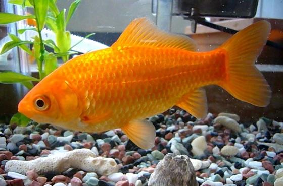 7 poissons faciles lever en aquaponie aquaponie france for Nourriture poisson rouge pour une semaine