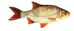 Élever le Rotengle (Scardinius erythrophthalmus) en aquaponie