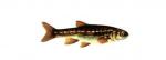 Élever le Vairon (Phoxinus phoxinus) en aquaponie