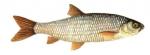 Élever la Vandoise (Leuciscus leuciscus) en aquaponie