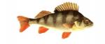 Élever la perche (Perca fluviatilis) en aquaponie