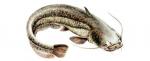 Élever le Silure (Silurus glanis) en aquaponie