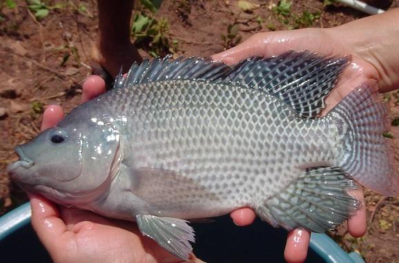 7 poissons faciles à élever en aquaponie - Aquaponie France