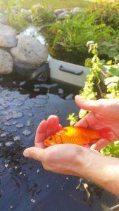 poisson-aquaponie-ferme-aquaponie