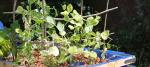 Les plantes d'un système aquaponique