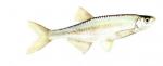 Élever l'Ablette (Alburnus alburnus) en aquaponie