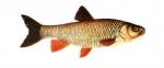 Élever le Chevaine (Leusiscus cephalus) en aquaponie