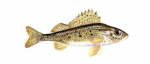 Élever la Gremille (Gymnocephalus cernuus) en aquaponie