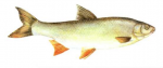 Élever le Hotu (Chondrostoma nasus) en aquaponie