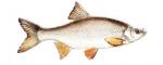Élever l'ide melanote (leuciscus idus) en aquaponie