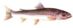 Élever l'omble chevalier (Salvelinus alpinus) en aquaponie