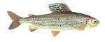 Élever l'ombre commun (Thymallus thymallus) en aquaponie