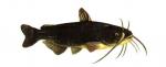 Elever le poisson chat (Ameiurus melas) en aquaponie