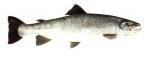 Élever le Saumon Atlantique (Salmo salar) en aquaponie