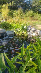 bassin-aquaponie-naturel